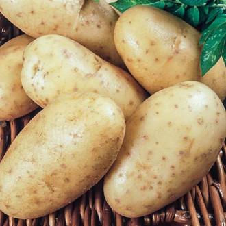 Картофель Леди Клер изображение 2