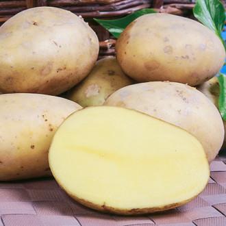 Картофель Вымпел изображение 8