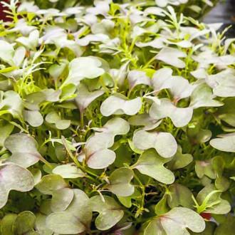 Микрозелень Капуста японская Мизуна изображение 1