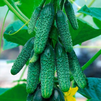Огурец Пучковый урожай F1 изображение 5