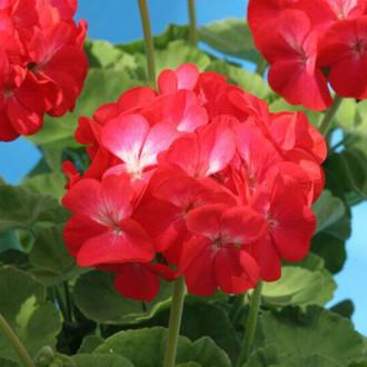 Пеларгония Венецианская роза F1 изображение 3