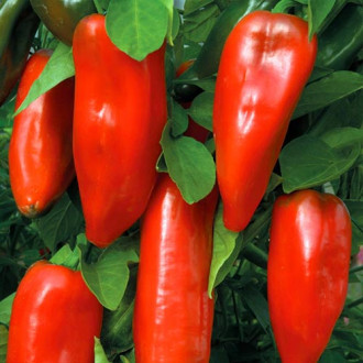 Перец сладкий Бизон красный изображение 5