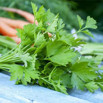 Петрушка листовая Витаминка изображение 2