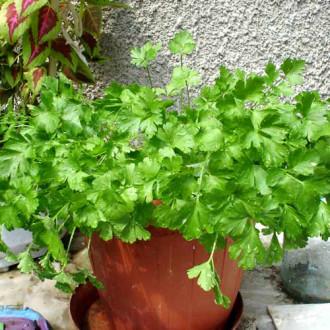 Петрушка листовая Зеленый хрусталь изображение 3