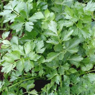 Петрушка листовая Нежный аромат изображение 7