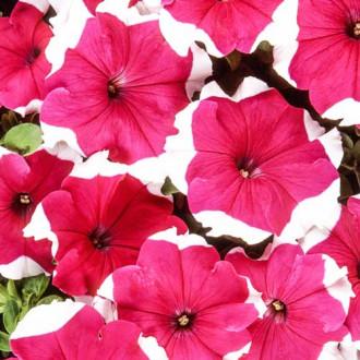 Петуния Хулахуп розовая F1 изображение 7