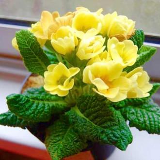 Примула махровая Розанна желтая F1 изображение 8