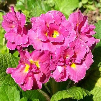 Примула махровая Розанна розовая F1 изображение 5