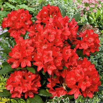 Рододендрон Ред Джек изображение 4