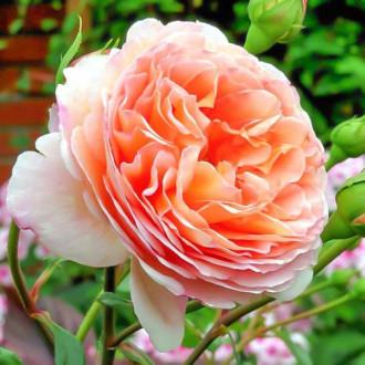 Роза английская Абрахам Дерби изображение 5