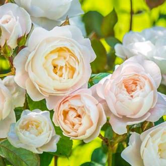 Роза английская Дездемона