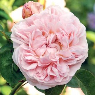 Роза английская Дженерос Гарденер
