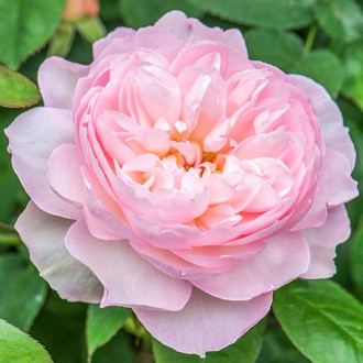 Роза английская Джентл Гермионе