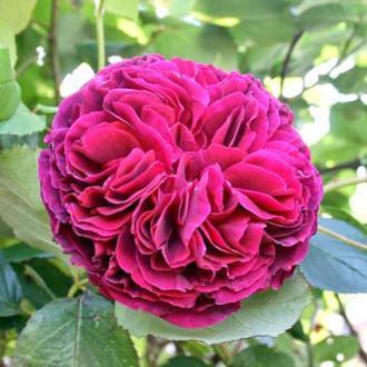 Роза английская Фальстаф изображение 7