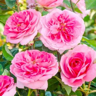 Роза английская Гертруда Джекилл изображение 3