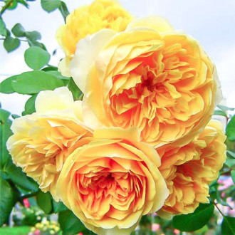 Роза английская Грэхам Томас изображение 5