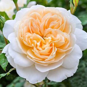 Роза английская Крокус Роуз изображение 7