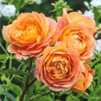 Роза английская Леди оф Шалот изображение 8