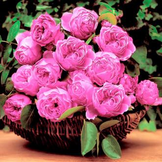 Роза английская Леонардо да Винчи изображение 7