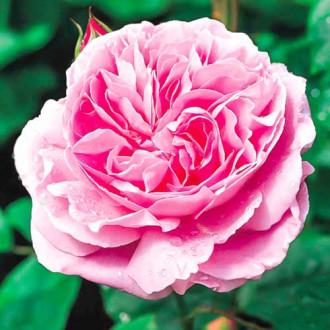 Роза английская Мэри Роуз изображение 1