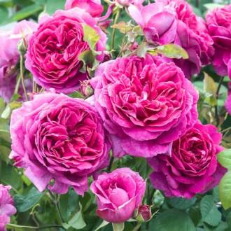 Роза английская Пинк Леди изображение 3