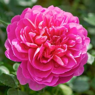 Роза английская Принцесса Анна изображение 5