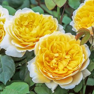 Роза английская Шарлотта изображение 7