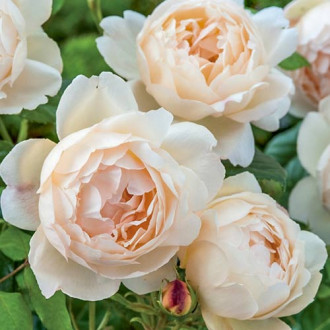 Роза английская Воллертон Олд Холл изображение 6