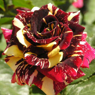 Роза чайно-гибридная Абракадабра