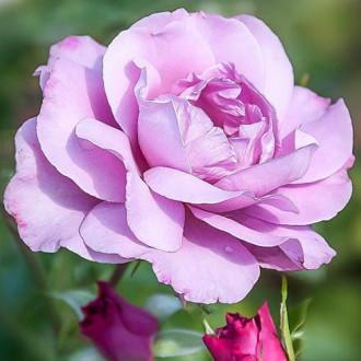 Роза чайно-гибридная Аметист изображение 8