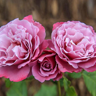 Роза чайно-гибридная Аметист изображение 4