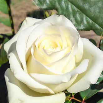 Роза чайно-гибридная Анастасия изображение 3