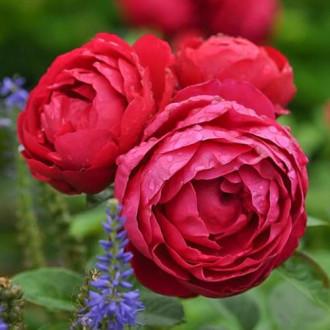 Роза чайно-гибридная Аскот