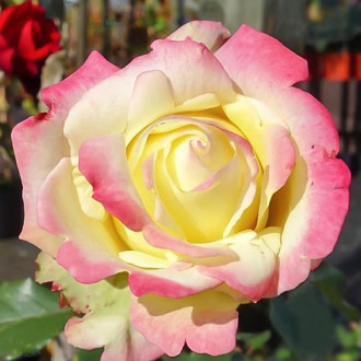 Роза чайно-гибридная Атена изображение 6