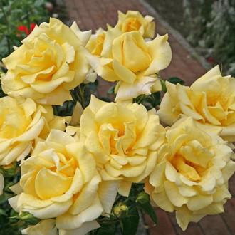 Роза чайно-гибридная Беролина изображение 6