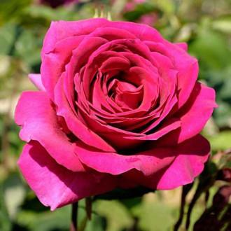 Роза чайно-гибридная Биг Перпл изображение 7