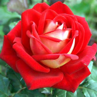 Роза чайно-гибридная Биколетте