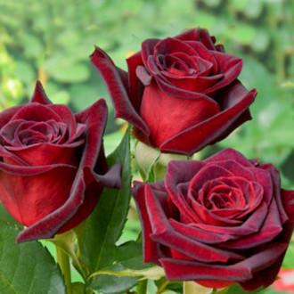 Роза чайно-гибридная Блэк Мэджик изображение 8