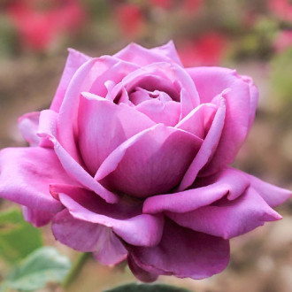 Роза чайно-гибридная Блю Парфюм изображение 5