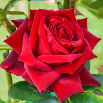 Роза чайно-гибридная Бургундия