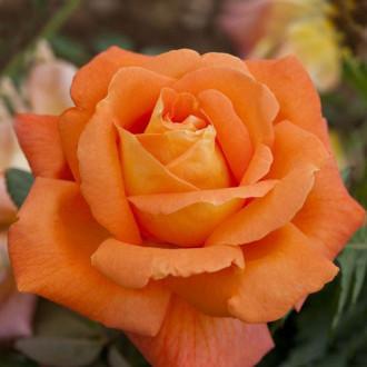 Роза чайно-гибридная Черри Бренди изображение 2