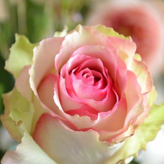 Роза чайно-гибридная Дансинг Квин изображение 1