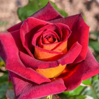 Роза чайно-гибридная Эдди Митчел изображение 7