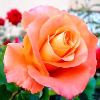Роза чайно-гибридная Экзотика изображение 3