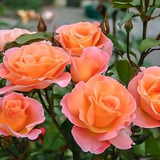 Роза чайно-гибридная Экзотика изображение 6