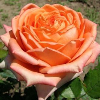 Роза чайно-гибридная Эльдорадо изображение 3
