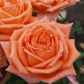 Роза чайно-гибридная Эльдорадо изображение 4