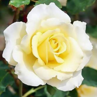 Роза чайно-гибридная Элина изображение 5