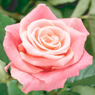 Роза чайно-гибридная Фламинго изображение 6