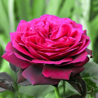 Роза чайно-гибридная Графиня Диана изображение 8